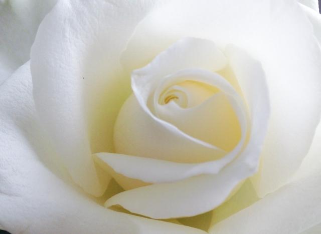 白いバラ 葬花